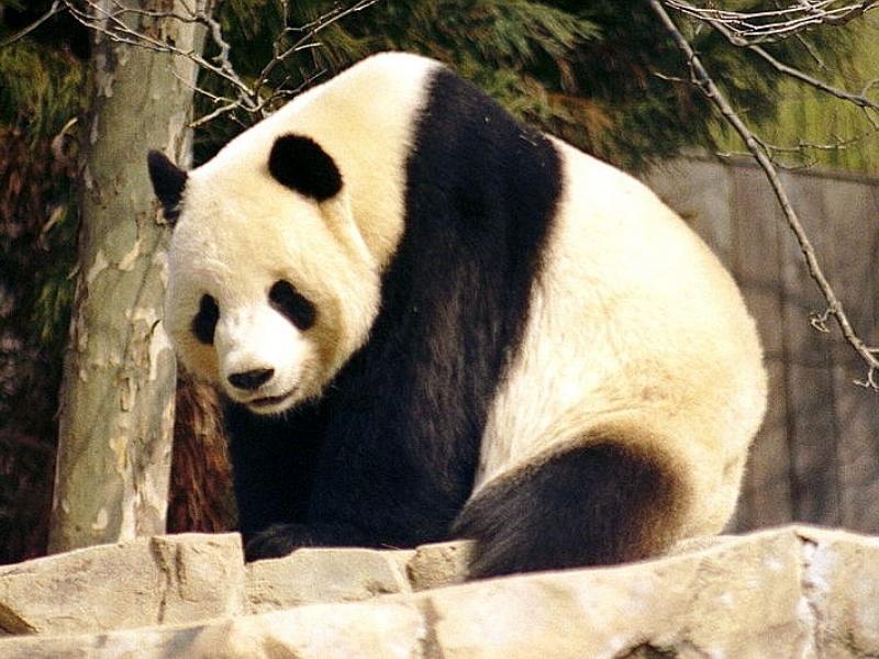Bericht: Pandapaar für Berliner Zoo gefunden